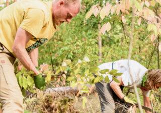 Freiwillige entnehmen die Spätblühende Traubenkirsche (Prunus serotina) in den Berliner Wäldern
